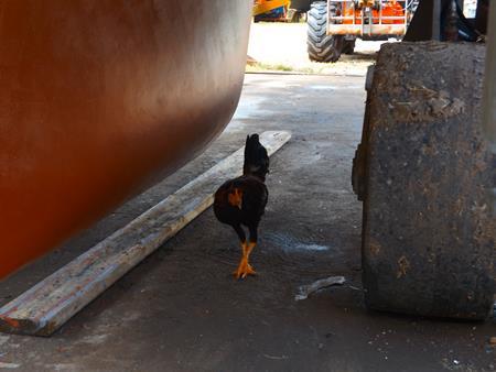 Hühner laufen selbstverständlich unter Gegenwind