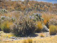 7 Pflanzenwelt auf 4600m über dem Meer