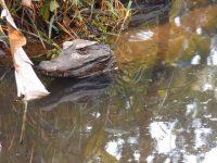 Zoo - Ecuadorianische Tierwelt: Alligator