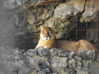 Zoo - Ecuadorianische Tierwelt: Puma