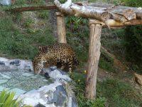 Zoo - Ecuadorianische Tierwelt: Jaguar
