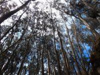 Eukalyptuswald in Ingapirca