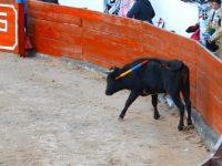 Canar: Durch die Speere wird der Stier weiter gereizt