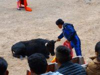 Canar: Erschöpfter Stier