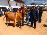 Canar: Prämierte Kuh
