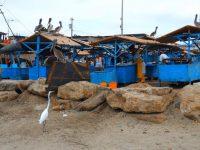 Pelikane und Reiher versuchen ein paar Fischabfälle zu ergattern