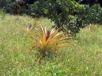 Hier wächst die Ananas