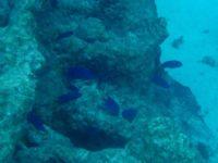 Strahlend blau zwischen den Korallen