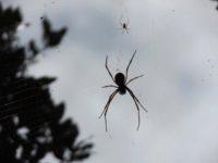 Riesige Spinnen mit wegüberspannenden Netzen