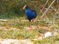 Stolzierender Vogel