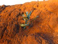 Ile de Casy: Erste Pflanzen nach dem Feuer