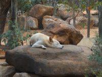 Dingo: Australien größtes Raubtier an Land