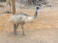 Emu: Neugieriger Laufvogel