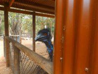 Emu: noch ein letzter Blick und ein lauter dunkler Schrei