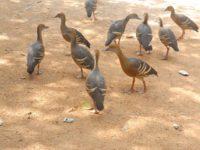 Entenscharen laufen uns auch gerne mal über die Füße