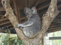 Koala beim Touristengucken
