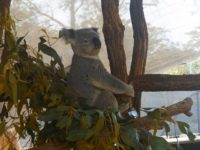 Koala mitten im Mittagsgrün