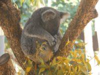Koalas Lieblingsbeschäftigung ist Schlafen