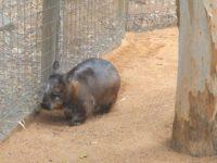Wombat am auf und ablaufen des Geheges