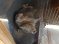 Wombat beim Mittagsschlaf
