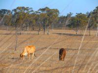 Rinder im trockenen Buschland