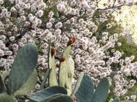 Mandelblüte und Katus
