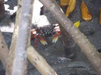 Krebse die Mangrovenbewohner