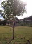 Le Manceniller: giftige Bäume sind rotweiß gekennzeichnet