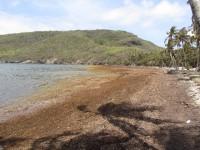 Sargassokraut überschwemmt die Strände