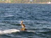 Unser erster Pelikan