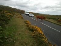 Dartmoor Rindvieh hat Vorrang