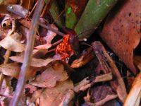 Der Rote Frosch von Bastimentos