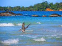 Pelikan beim Fischfang in der Brandung