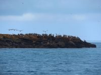Pelikane über Pelikane